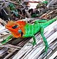 Common green forest lizard (Sri Lanka).jpg