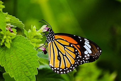 Common tiger (Danaus genutia).jpg