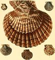 Conchologia iconica, or, Illustrations of the shells of molluscous animals (1855) (20489816278).jpg