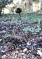 Cone, Purple coneflower (38569985146).jpg