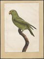 Conurus tuipara - 1700-1880 - Print - Iconographia Zoologica - Special Collections University of Amsterdam - UBA01 IZ18500197.tif