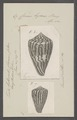 Conus hyaena - - Print - Iconographia Zoologica - Special Collections University of Amsterdam - UBAINV0274 086 08 0010.tif
