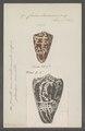 Conus leoninus - - Print - Iconographia Zoologica - Special Collections University of Amsterdam - UBAINV0274 086 02 0031.tif