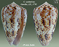 Conus zeylanicus 1.jpg
