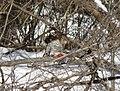 Cooper's hawk feeding on a blue jay 9.jpg