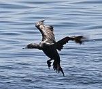 Cormorant coming into land (14962763603).jpg