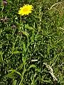 Corn marigold with knapweed.jpg