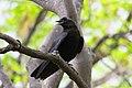Corvus brachyrhynchos UL 05.jpg
