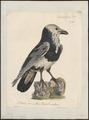 Corvus corax - 1825-1834 - Print - Iconographia Zoologica - Special Collections University of Amsterdam - UBA01 IZ15700209.tif