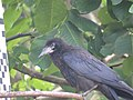 Corvus frugilegus, Djerdap NP, Srbija (20).jpg
