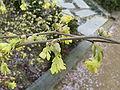 Corylopsis pauciflora3.jpg