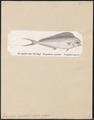 Coryphaena equisetis - 1700-1880 - Print - Iconographia Zoologica - Special Collections University of Amsterdam - UBA01 IZ13500316.tif