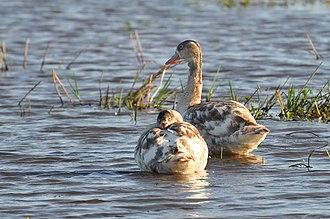 Coscoroba swan - Image: Coscoroba coscoroba Mostardas, Rio Grande do Sul, Brasil juvenile 8