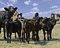 Cows and calves.jpg