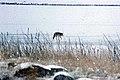 Coyote014 (26901962156).jpg