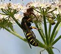 Crab Spider with Digger Wasp (Crabro)2.jpg