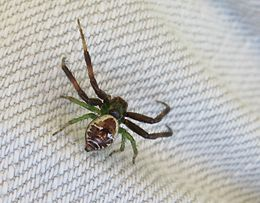 Crab spider male, Genus Synema, Family Thomisidae 5824.jpg