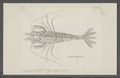 Crangon salebrosus - - Print - Iconographia Zoologica - Special Collections University of Amsterdam - UBAINV0274 097 05 0005.tif