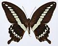 Cream-banded Swallowtail (Papilio gigon gigon) (8429367627).jpg
