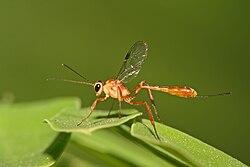 definition of ichneumonidae