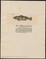 Crenicichla orinocensis - 1700-1880 - Print - Iconographia Zoologica - Special Collections University of Amsterdam - UBA01 IZ14000073.tif