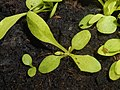 Crepis capillaris 2018-07-02 3523.jpg
