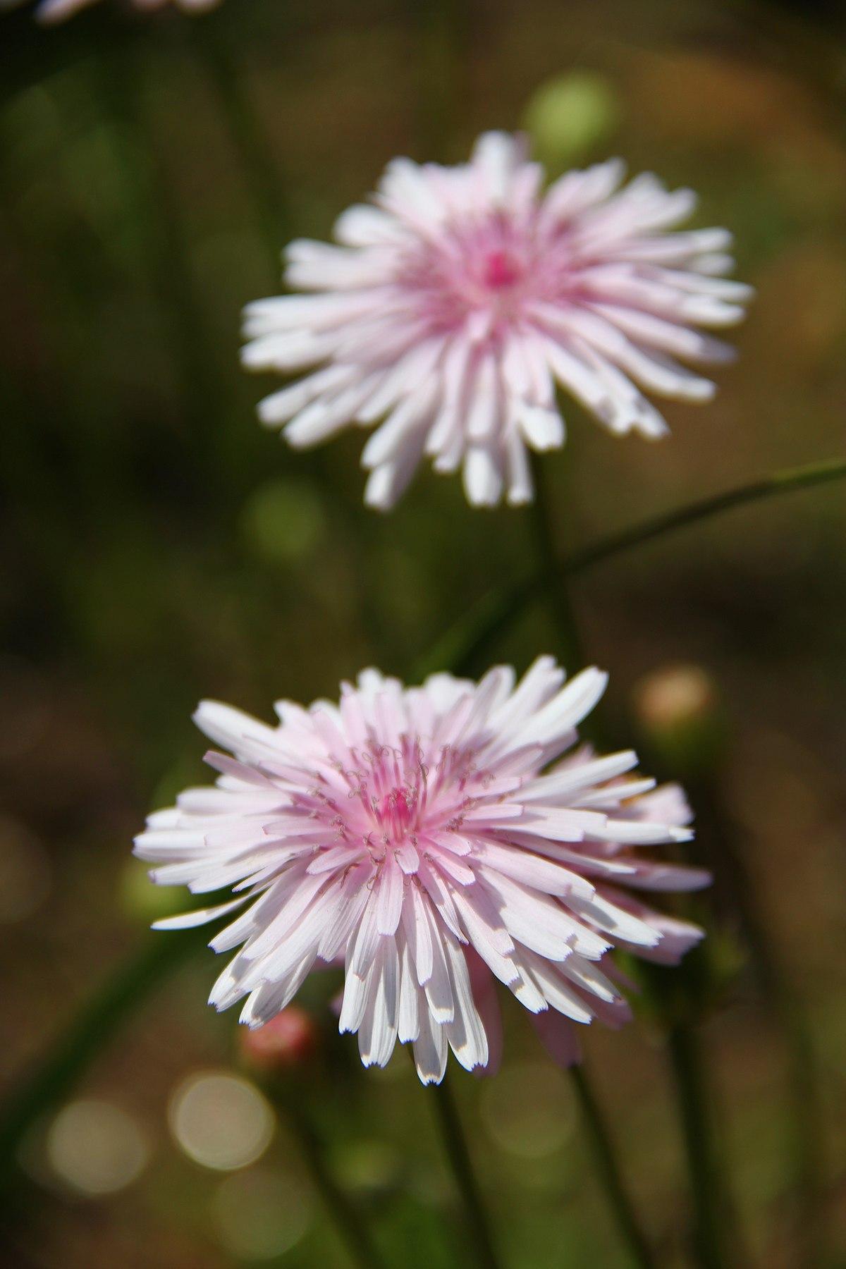Crepis rubra - Wikipedia - Crepis