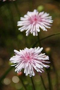 C. rubra, rosenfibbla