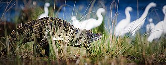 Rubondo Island National Park - Crocodile on Rubondo