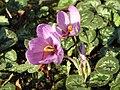 Crocus sativusRHu.jpg