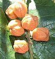 Croton sylvaticus fruit 13 12 2010.JPG