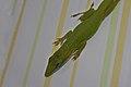 Cuban Green Anole (Anolis porcatus) (8592691078).jpg
