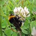 Cuckoo bumblebee (Bombus vestalis?) on clover, Sandy, Bedfordshire (9191753063).jpg