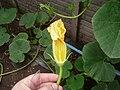 """Cucurbita maxima """"zapallo plomo"""" (Costanzi temp) flor masculina M04 dia01 pétalos removidos columna anterífera tricomas pétalos cerrados.jpg"""