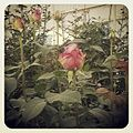 Cultivo de rosa.jpg