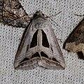 Cuneisigna obstans (Erebidae- Erebinae) (26954823960).jpg