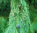 Cupressus nootkatensis (Nootka Cypress) seed and pollen cones.jpg