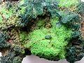 Cuprosklodowskite-Vandenbrandeite-rads-35b.jpg