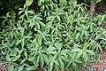 Curcuma zedoaria 3zz.jpg