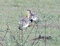 Curicaca Pantanal.jpg