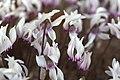 Cyclamen graecum GotBot 2015 002.jpg