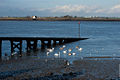 Cygnus olor -River Thames, Gravesend, Kent, London -swimming-8.jpg