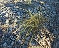 Cyperus laevigatus plant.jpg