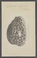 Cypraea tigris - - Print - Iconographia Zoologica - Special Collections University of Amsterdam - UBAINV0274 088 02 0034.tif