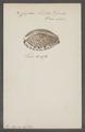 Cyprea histrio - - Print - Iconographia Zoologica - Special Collections University of Amsterdam - UBAINV0274 088 02 0026.tif