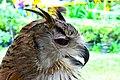 D85 1795 Proof Siberian Eagle Owl.jpg
