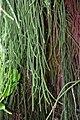 Dacrydium cupressinum in Auckland Botanic Gardens 01.jpg