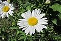 Daisy 2020-06-11 017.jpg