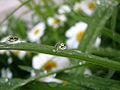Daisy Refraction (4301689054).jpg