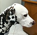 Dalmatian pattern.jpg